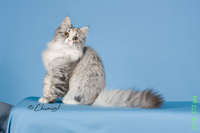 Fuzzy Siberian Cat and Siberian Kitten