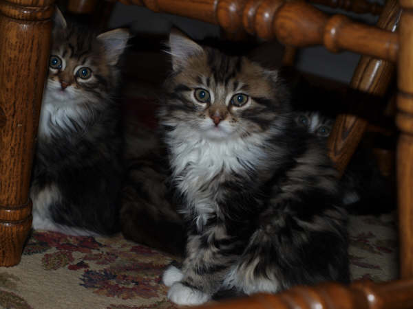Siberian Cats and Siberian Kittens For Sale, Denver CO